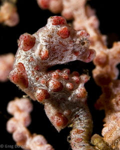 Pigmy Seahorse Lembeh.